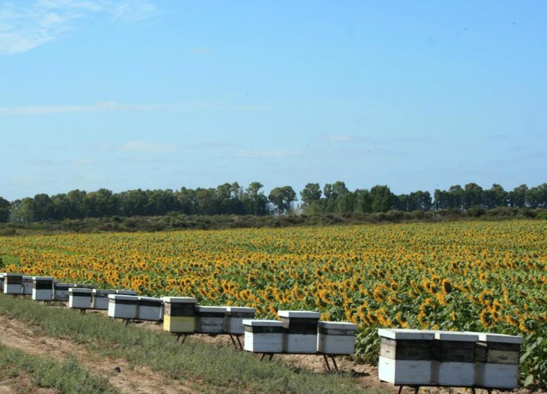Bee Hives with Sunflower Field