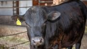 Beef Cattle Genetics