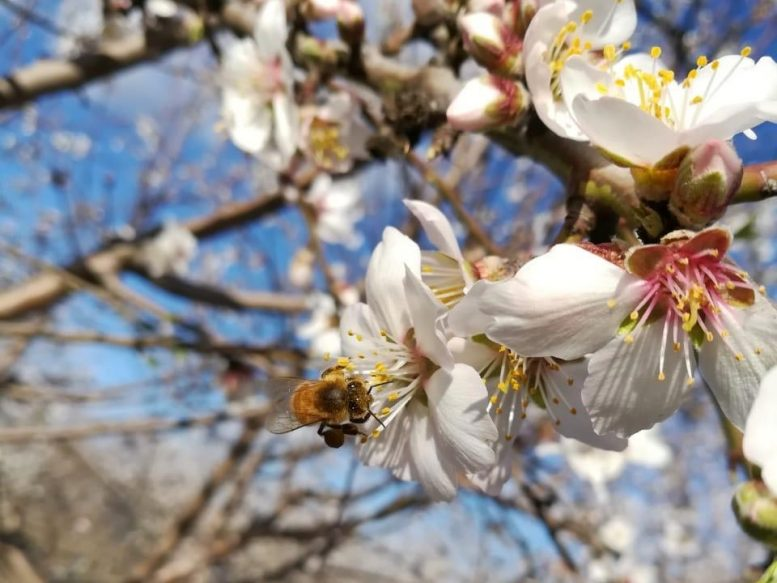 Bees Visit Pollinator-Independent Almond Blossoms