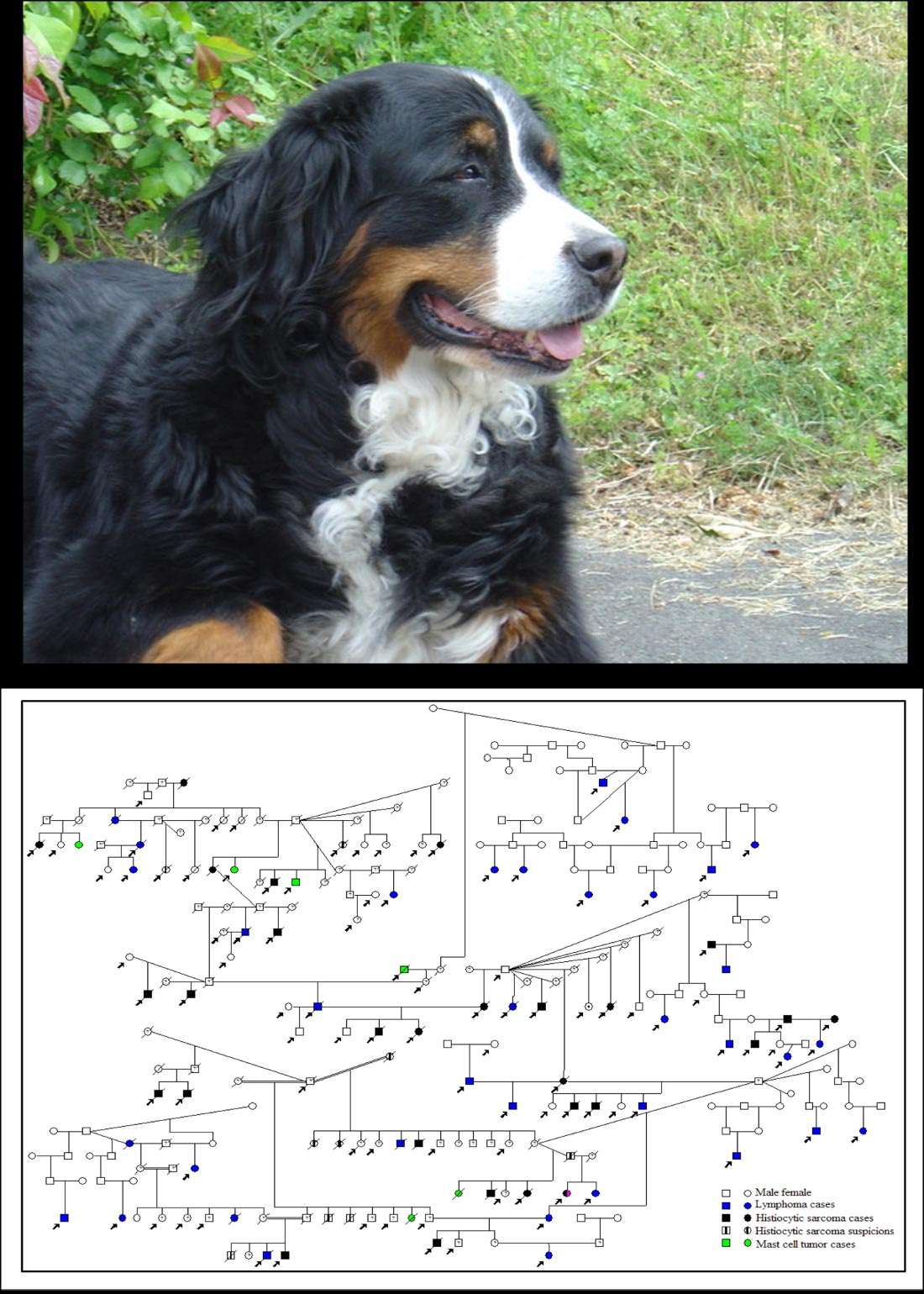 Cancer genetics of Bernese Mountain Dogs