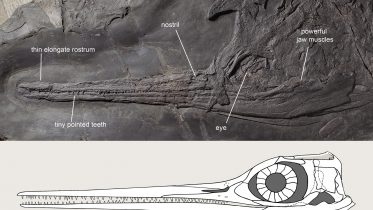 240-Million-Year-Old Ichthyosaur – Besanosaurus – Was an 26 Foot Long Marine Snapper