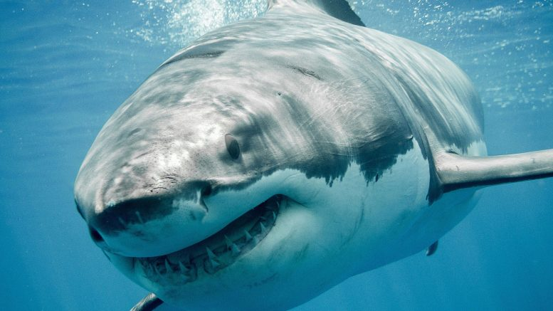 Beware the Deeper Water Great White Sharks