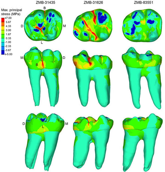 Biomechanics of Dental Features and Tooth Wear