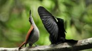 Blackest Black Gives Bird of Paradise an Edge