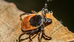 Blacklegged Tick (Ixodes scapularis)