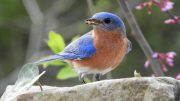Bluebird Feeding on Mealworms