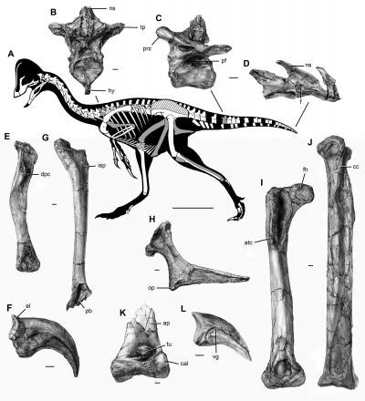 Bones of the Newly Discovered Oviraptorosaurian Dinosaur Species Anzu Wyliei