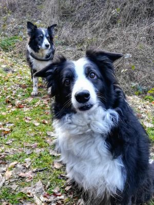 Border Collies Personality