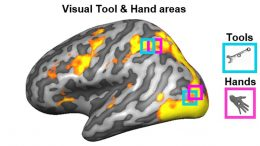 Brain Regions Vision How to Hold Tools