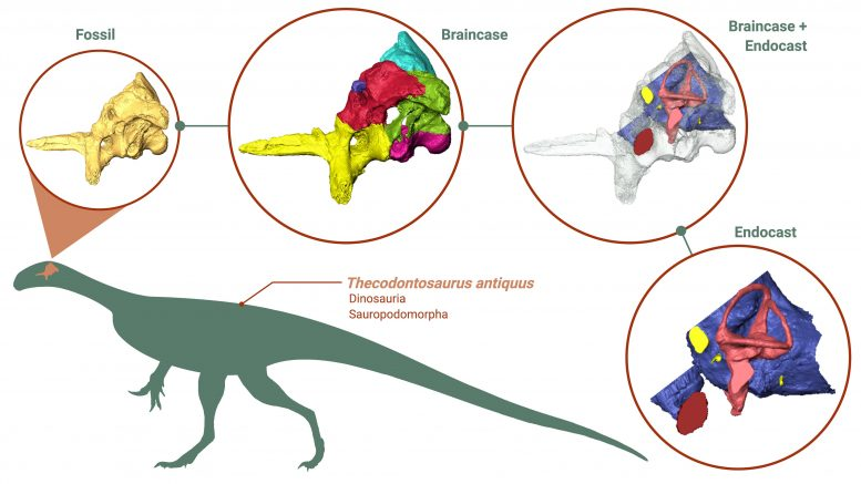 Braincase and Endocast of Thecodontosaurus antiquus
