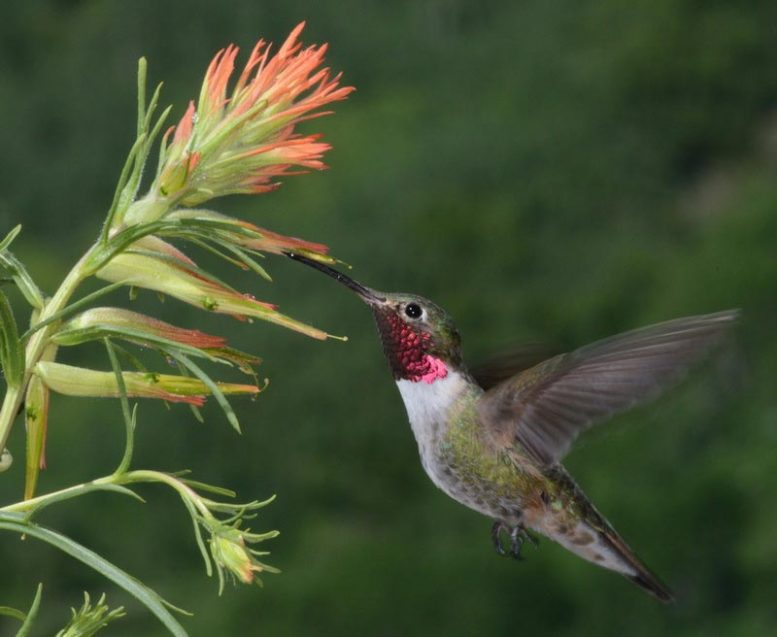 Broad Tailed Hummingbird Vision