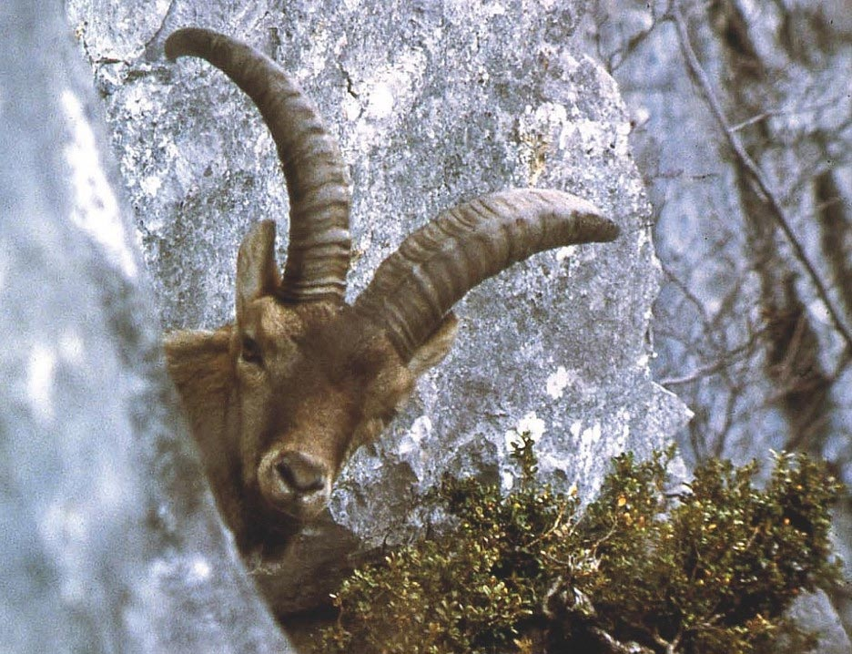 The Case of the Pyrenean Ibex: What Can We Learn From Vanishing Wildlife Species thumbnail