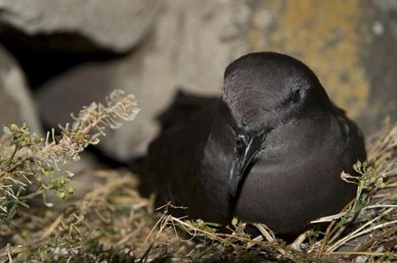 Bulwer's Petrel in Nest