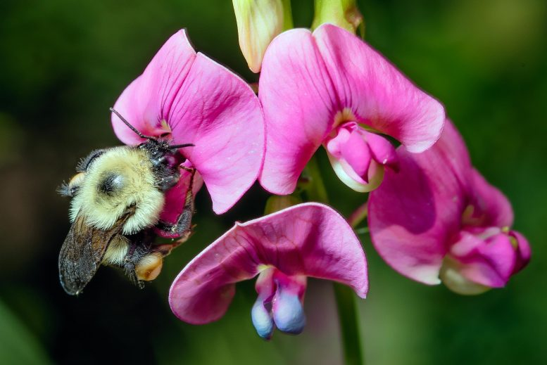 Bumble Bee Bombus Impatiens