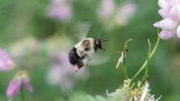 Bumblebee Flying