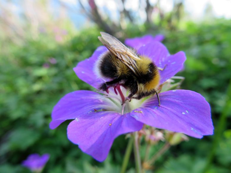 Bumblebee Foraging Flower