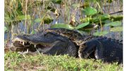 Burmese pythons in Everglades National Park.jpg