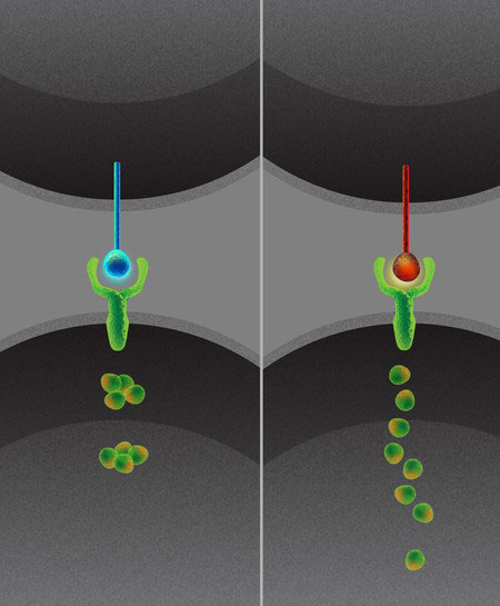 Caltech Discovers Critically Important Intercellular Communication System