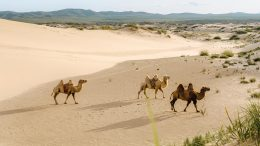 Camels on the Mongolian Plateau