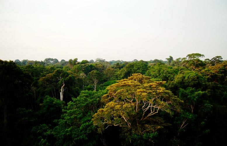 Canopy of the Amazon Rainforest