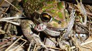 Carnivorous Frog Eating