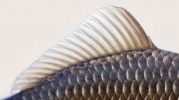 Carp Scales Close Up
