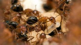 Carpenter Ants, UCF Parasitic Behavior Manipulation Lab