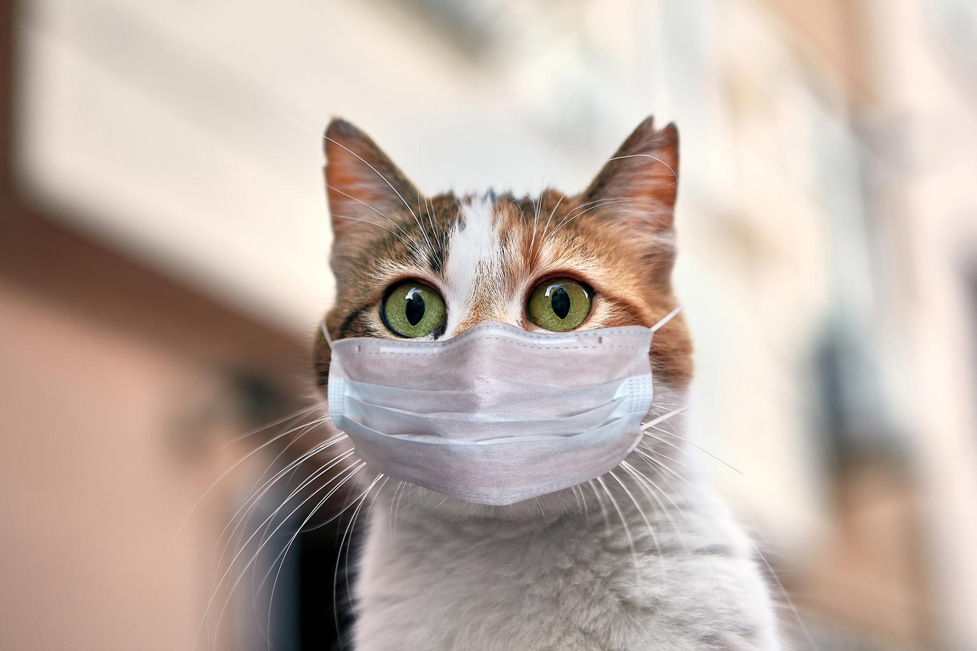 Study Confirms Cats Can Become Infected With Covid 19