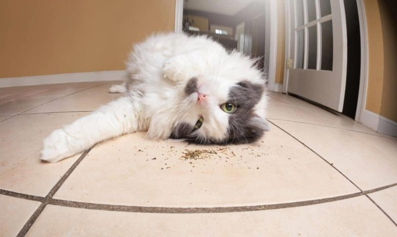 Cat Catnip