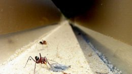Cataglyphis noda ants approaching their nest entrance