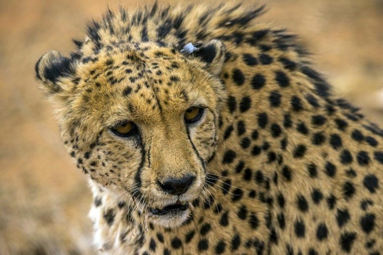 Cheetah With Ear Tag