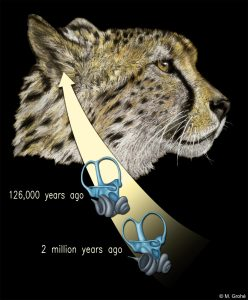 Cheetahs' Inner Ear Vital to High-Speed Hunting
