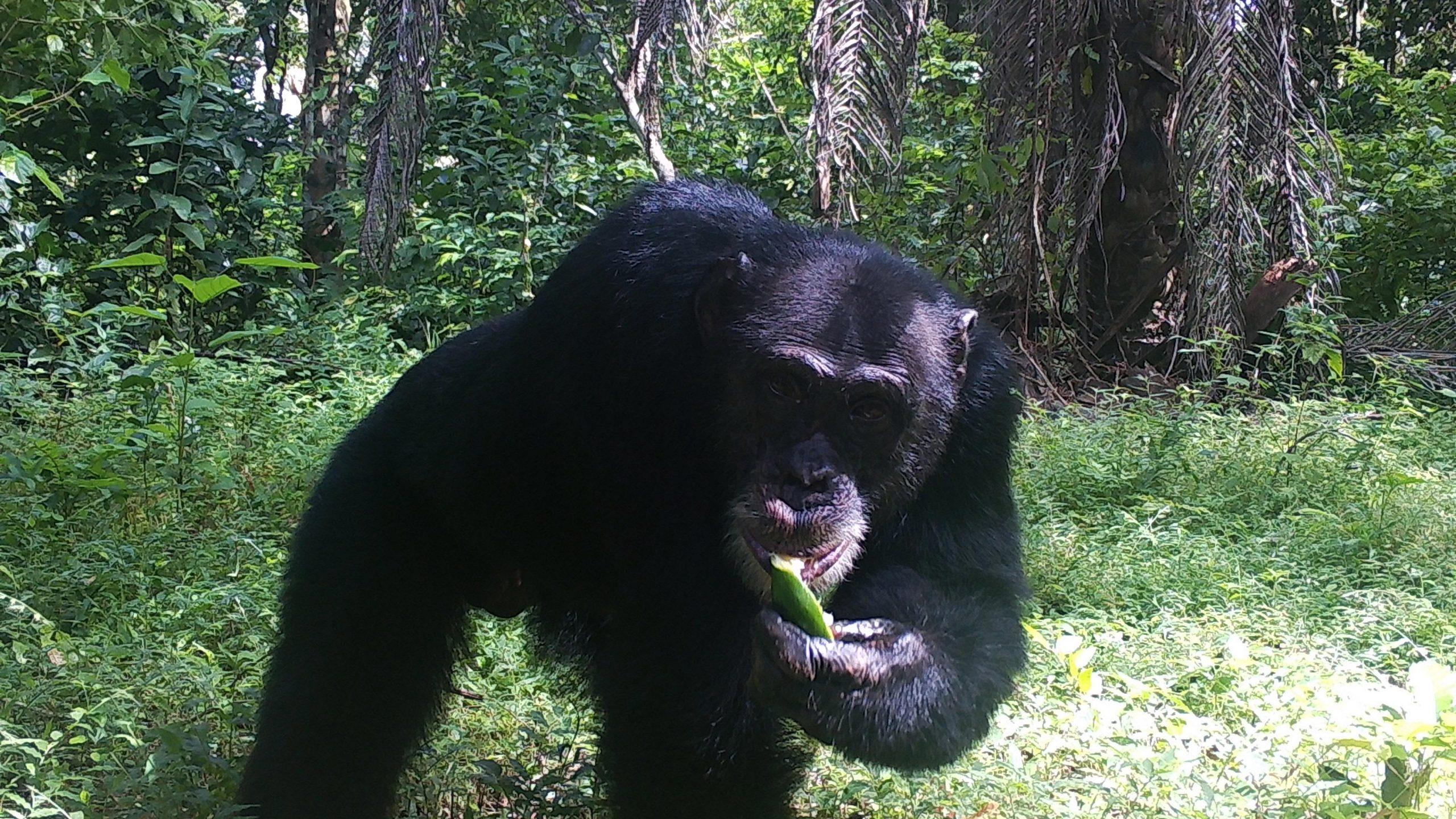 Western Chimpanzees – a Critically Endangered Species – Share Overlapping Territories With Humans