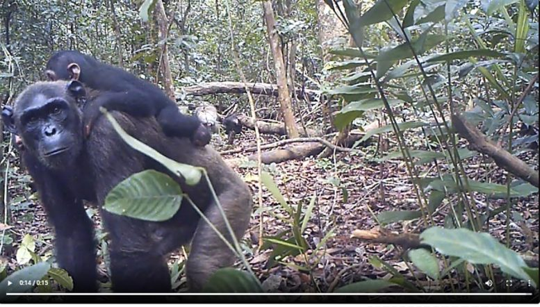 Chimpanzee Camera Trap
