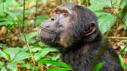 Chimpanzee Out of Trees