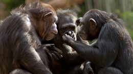 Chimpanzees Together