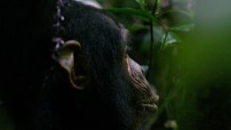 Chimpanzees and Infants Want to Punish Antisocial Behavior