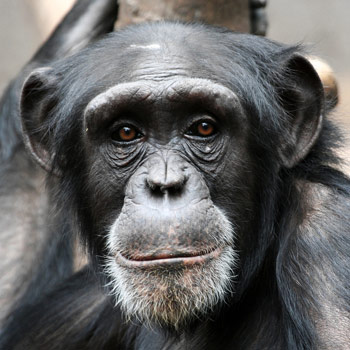 Chimps Outplay Humans in Brain Games
