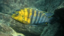 Cichlid Species From Africa's Lake Malawi