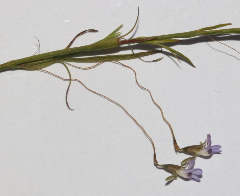 Close up of the Delicate Flower and Thread-Like Flower Stalks of Psoralea Cataracta