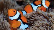 Clownfish Amphiprion percula