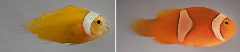 Clownfish Develop Their Stripes at Different Rates