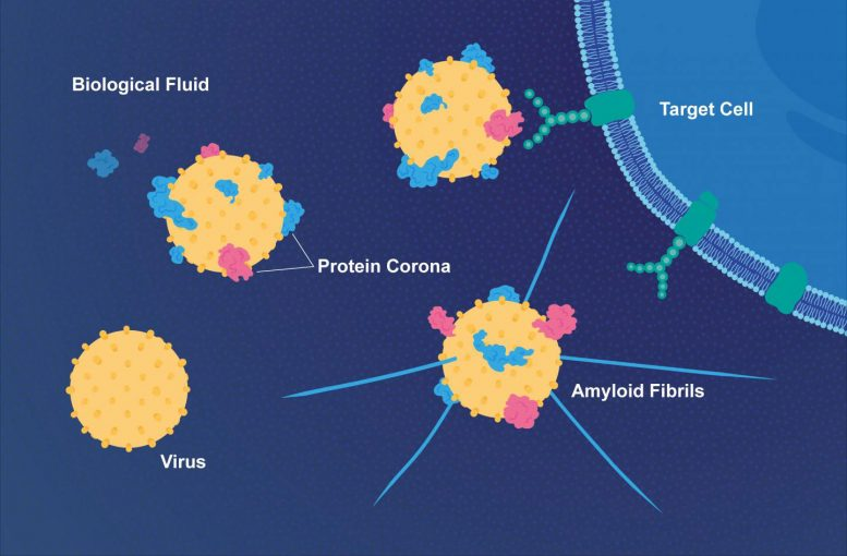 Coat of Proteins Makes Viruses More Infectious