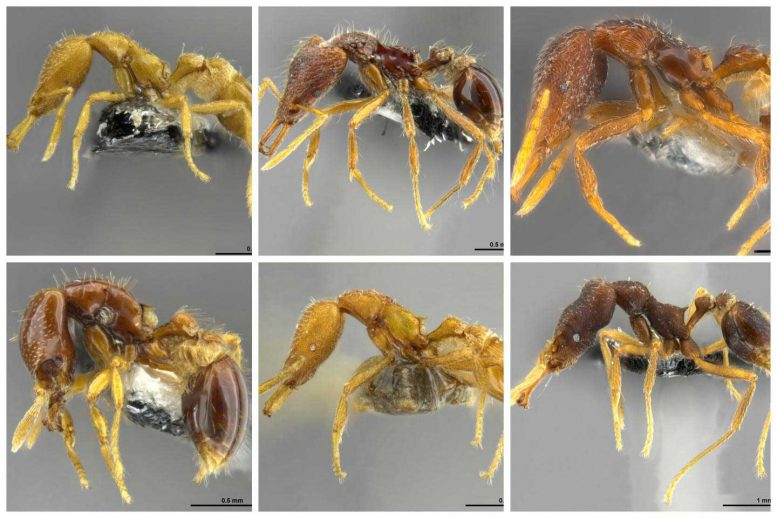 Collage of 6 New Species of Strumigenys Ants