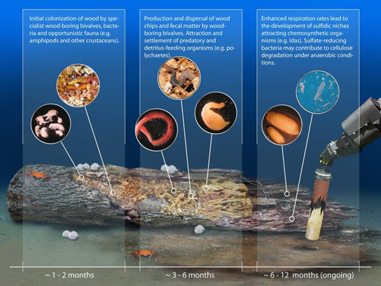 Colonization-of-wood-in-the-deep-sea