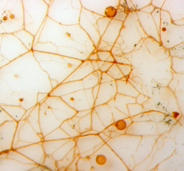Color Microscopic Photo of AM Fungal Hyphae