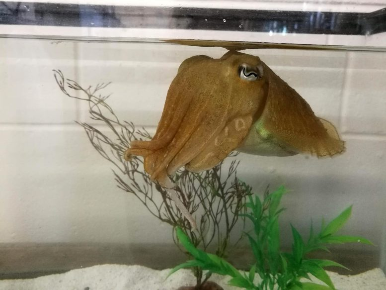 Common Cuttlefish Sepia officianalis