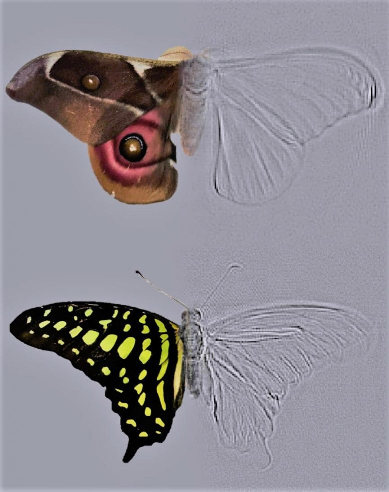 Composite Moth and Butterfly
