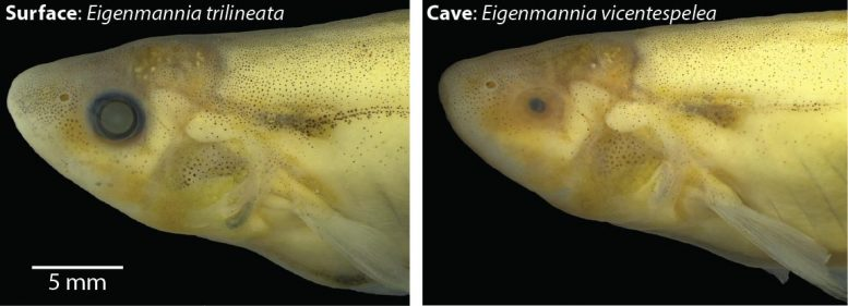 Contrast Surface Dwelling Fish and Blind Cavefish
