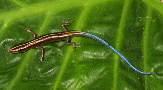 Copper-Striped Blue-Tailed Skink